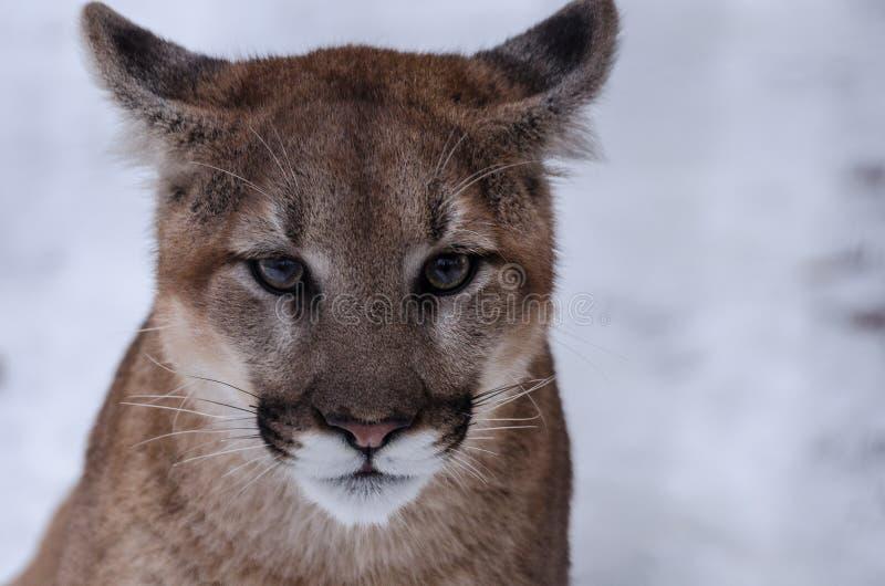 在雪的幼小美洲狮 免版税库存照片
