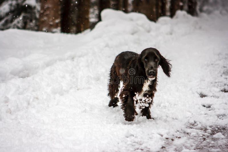 在雪的幼小蹦跳的人斗鸡家,肾上腺皮质激素D `安佩佐,意大利 免版税图库摄影