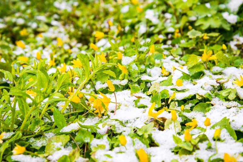 在雪的开花的花在春天公园 免版税库存照片