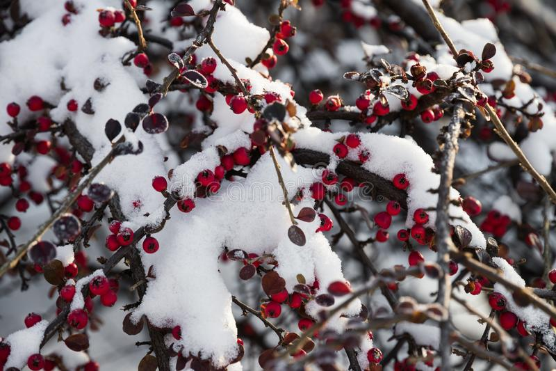 在雪的明亮的红色莓果在一冬天好日子 图库摄影