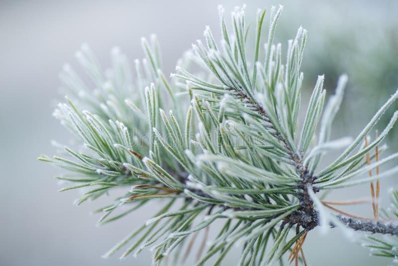 在雪的杉木分支 用霜盖的松树 库存图片