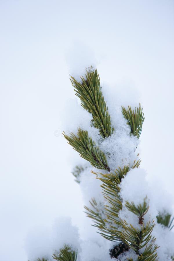 在雪的杉木叶子 免版税图库摄影