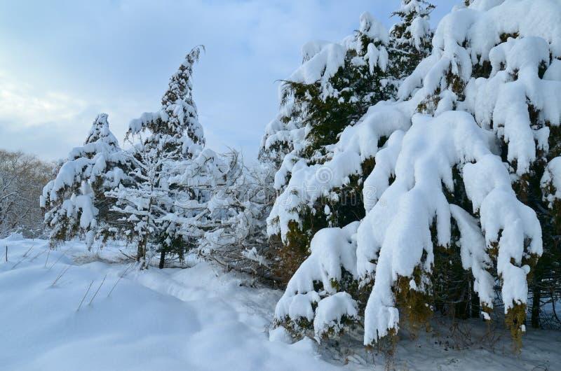 在雪的杜松树 美好的冬天 免版税库存照片