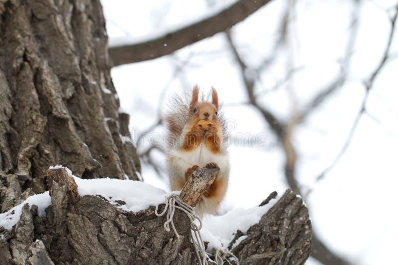 在雪的欧亚红松鼠 免版税库存照片