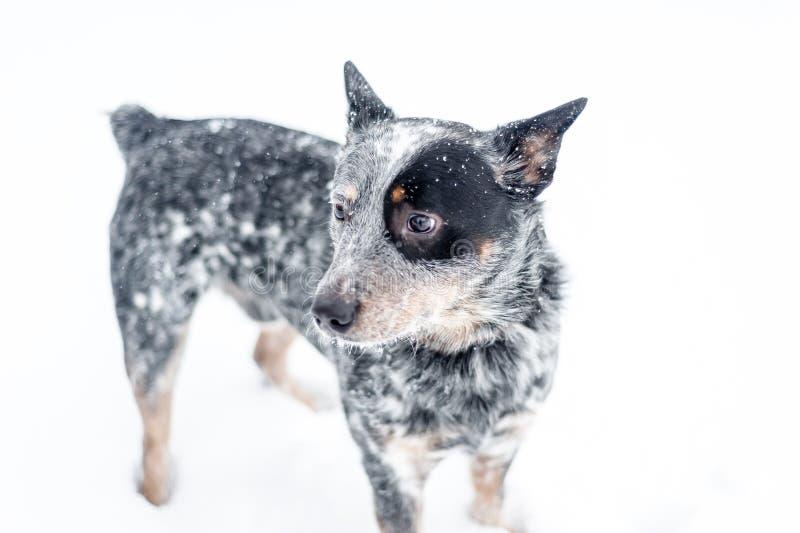 在雪的澳大利亚牛狗 免版税库存图片