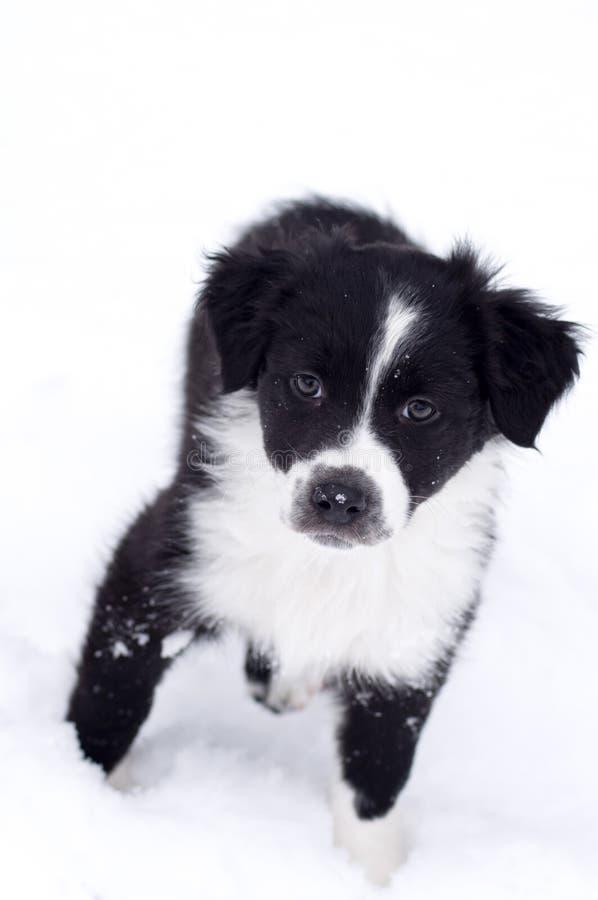在雪的澳大利亚shepard小狗 免版税图库摄影