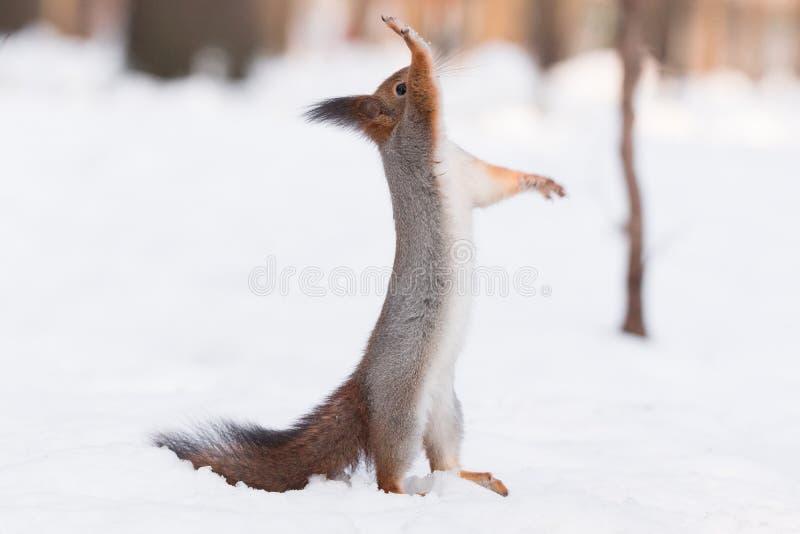 在雪的灰鼠 免版税库存图片