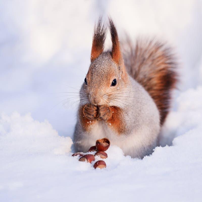 在雪的灰鼠 库存照片