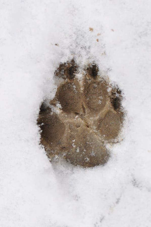 在雪的爪子标记 库存照片