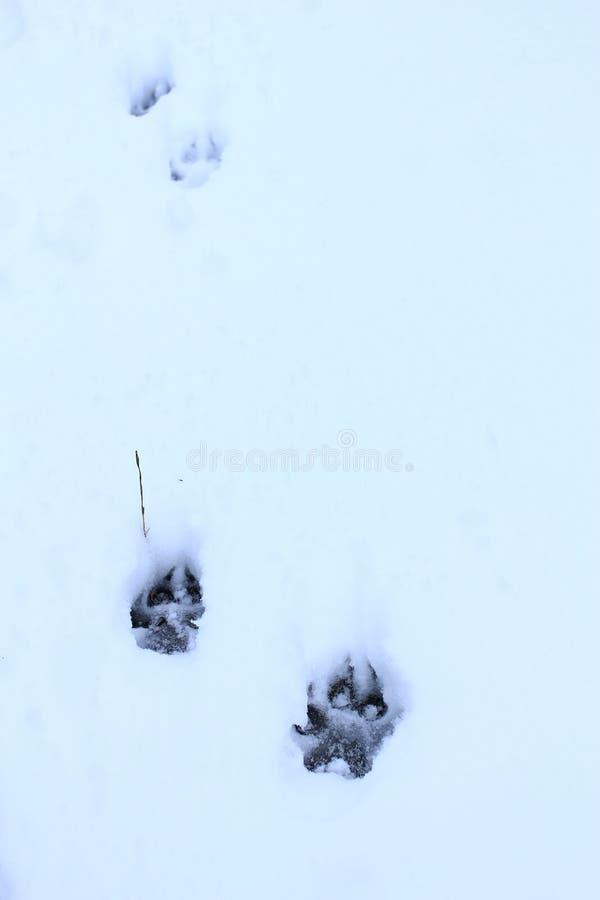 在雪的狗踪影 动物爪子的版本记录 免版税库存图片