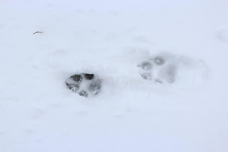 在雪的狗踪影 动物爪子的版本记录 免版税库存照片