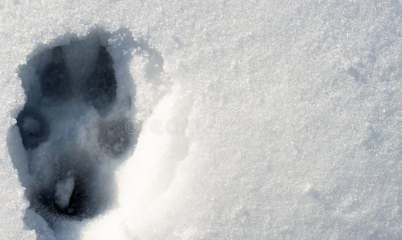 在雪的狼踪影 库存照片