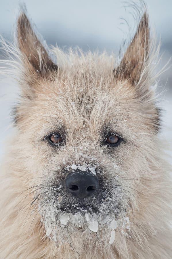在雪的画象聪明的白色狗,看直接 免版税图库摄影