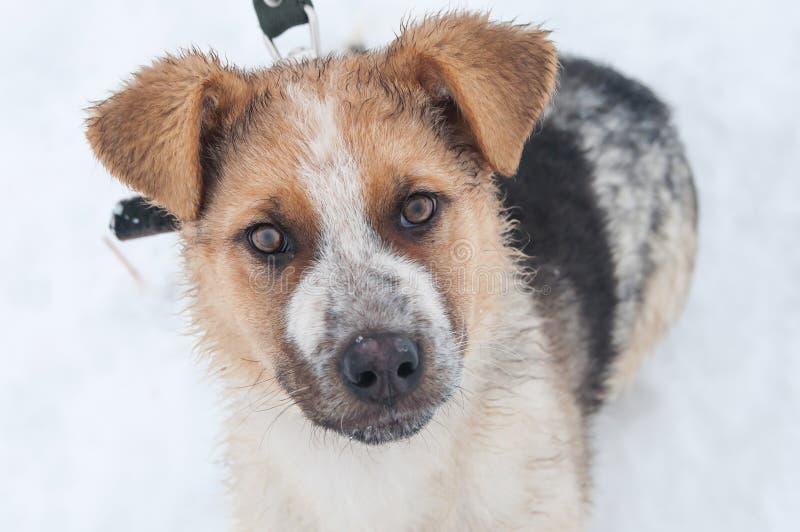 在雪的画象聪明的白色狗,看直接 免版税库存图片