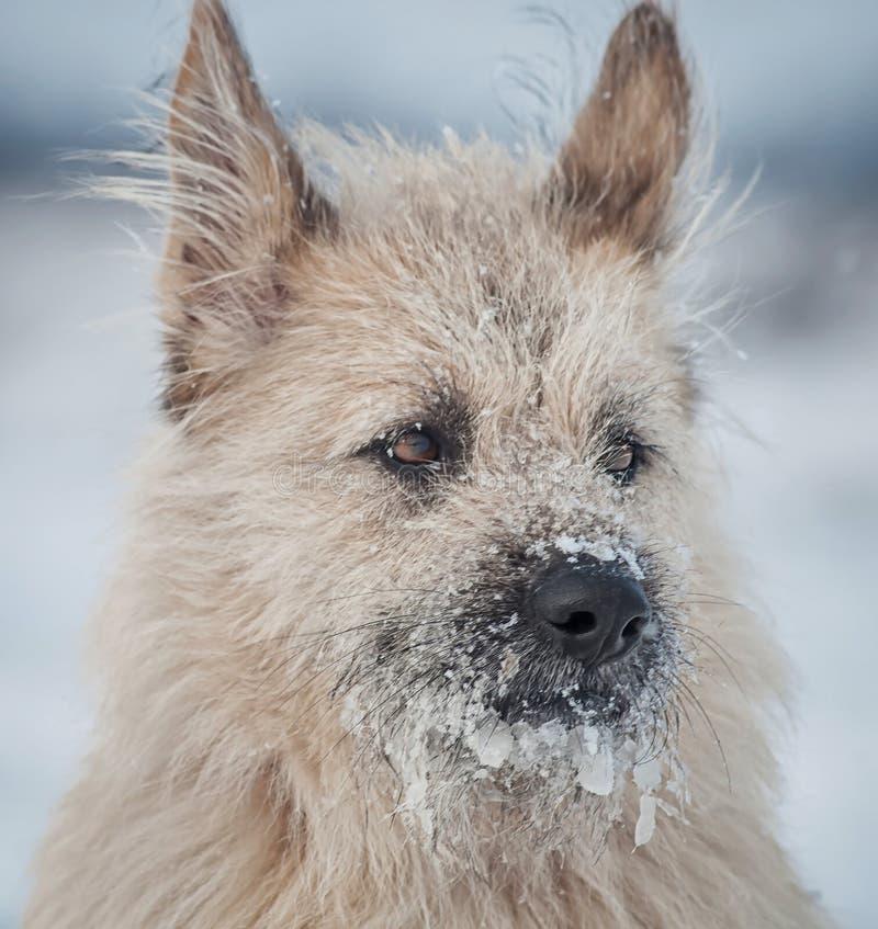 在雪的画象聪明的白色狗,看  免版税库存照片