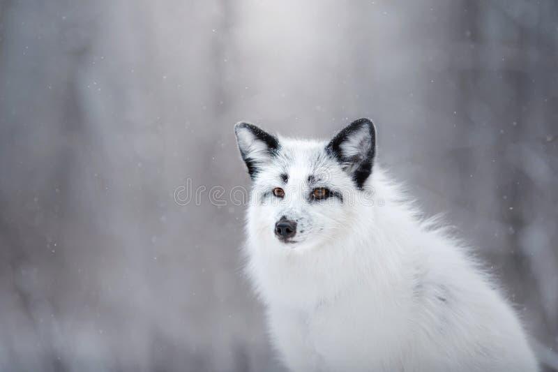 在雪的白狐毛皮在冬天 免版税库存照片