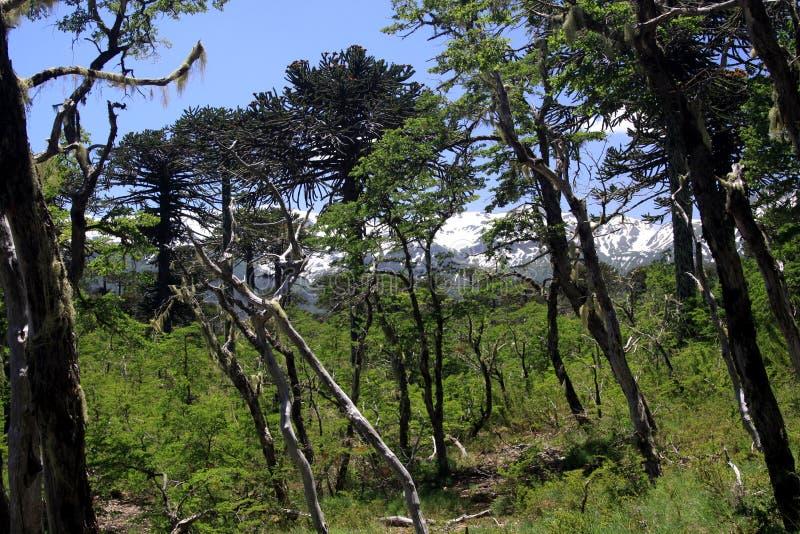 在雪的看法在Conguillio加盖了火山亚伊马火山黑锥体在智利中部由松树南洋杉araucana构筑了 库存照片