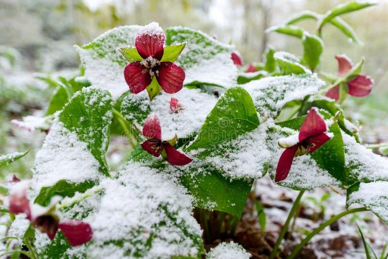 在雪的红色延龄草 库存照片
