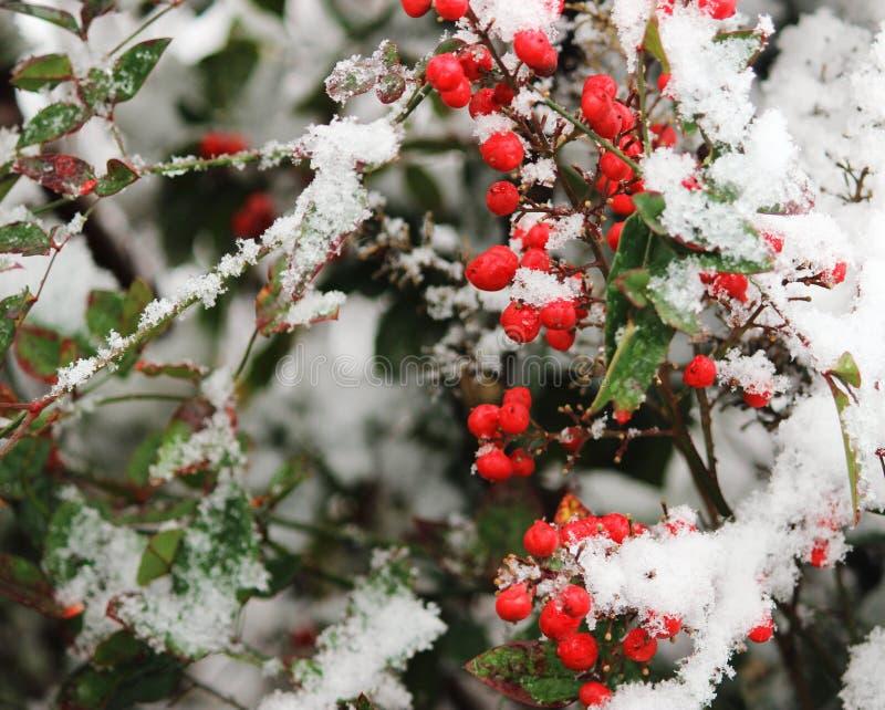 在雪的红色Nandina莓果 图库摄影