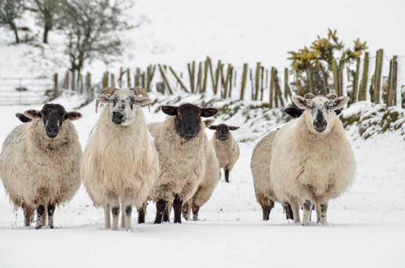 在雪的绵羊 免版税库存照片