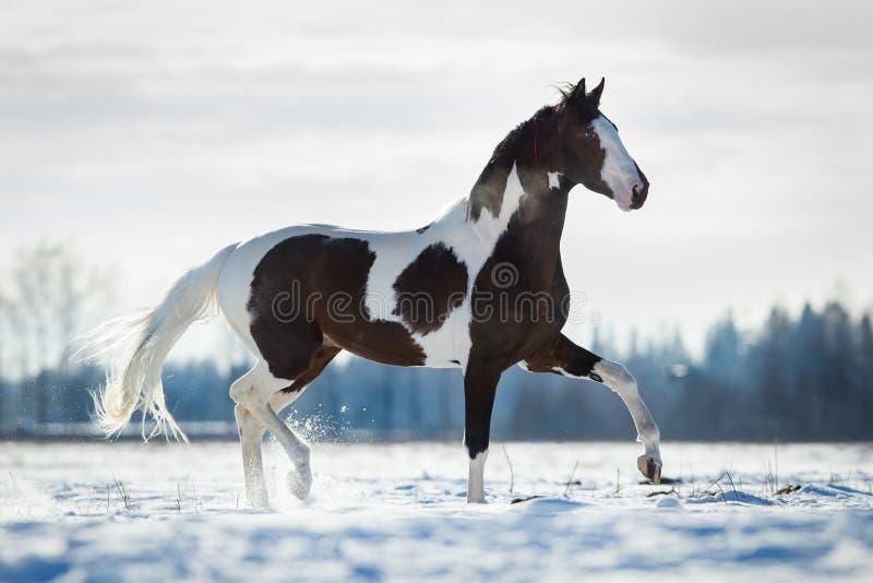 在雪的美好的马小跑在领域在冬天 免版税图库摄影