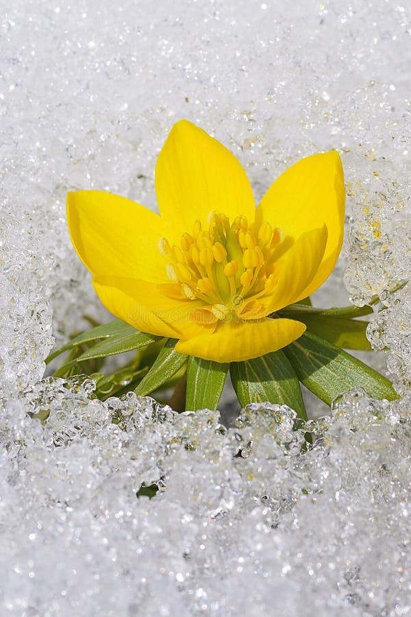 在雪的菟葵属 免版税图库摄影