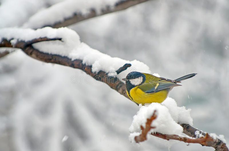 在雪的蓝冠山雀在树 免版税库存照片