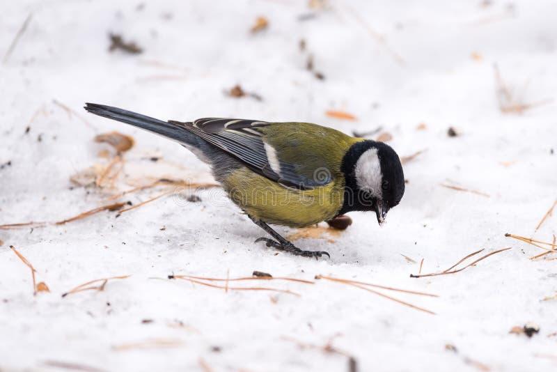 在雪的蓝冠山雀 特写镜头 免版税库存图片