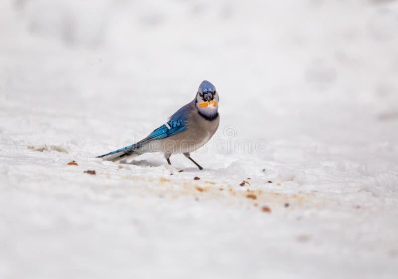 在雪的蓝色尖嘴鸟在冬天吃花生的 免版税库存照片