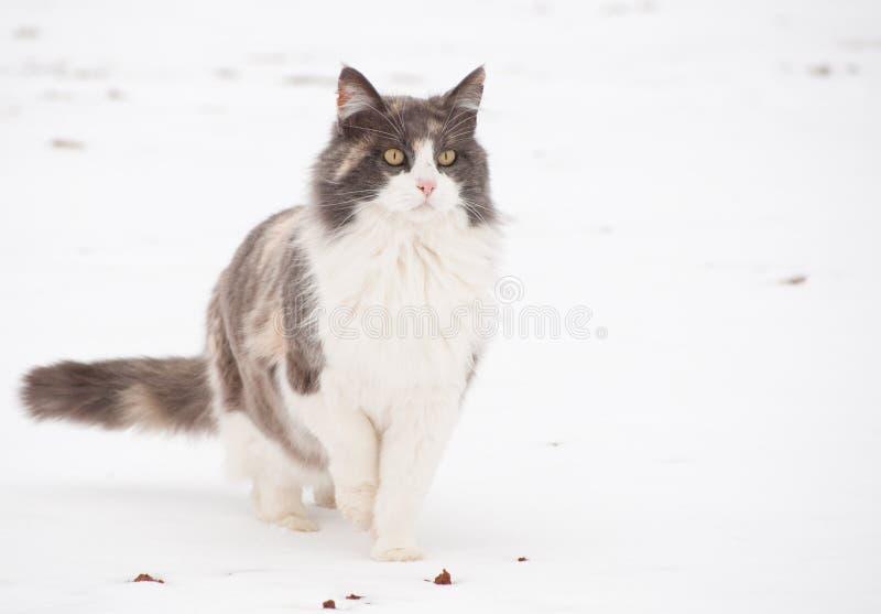 在雪的被稀释的杂色猫 库存照片