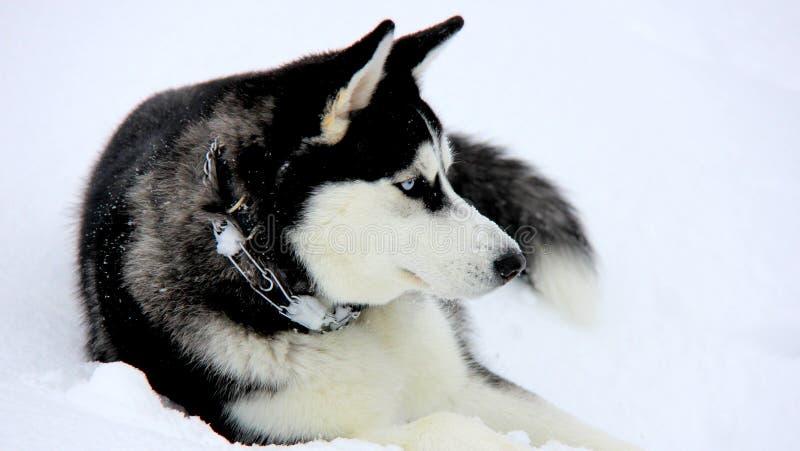 在雪的西伯利亚爱斯基摩人小狗 免版税库存照片