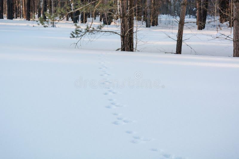 在雪的跟踪 在动物雪的木踪影  免版税库存照片