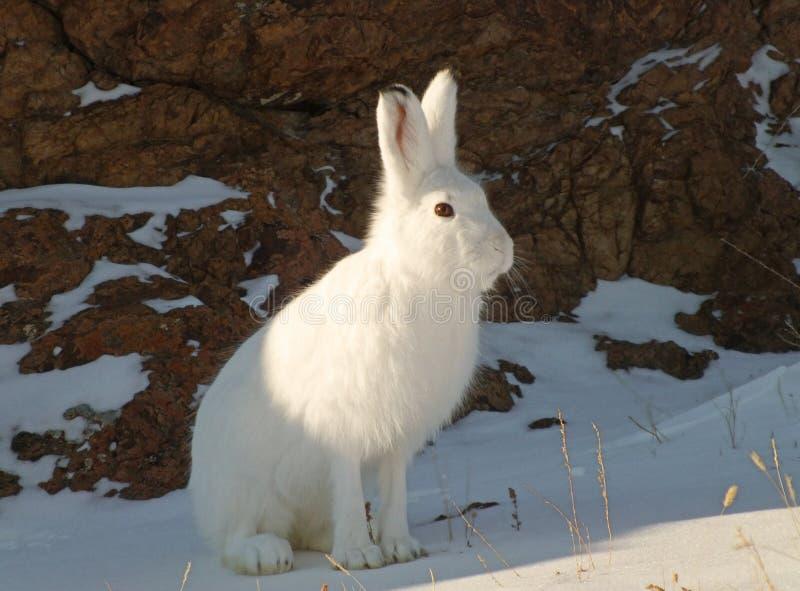 在雪的野兔 免版税图库摄影