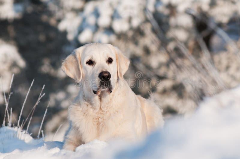 在雪的金毛猎犬狗 免版税库存照片