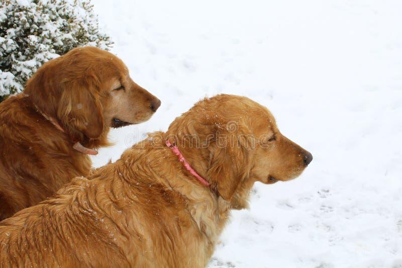 在雪的金毛猎犬狗 库存图片