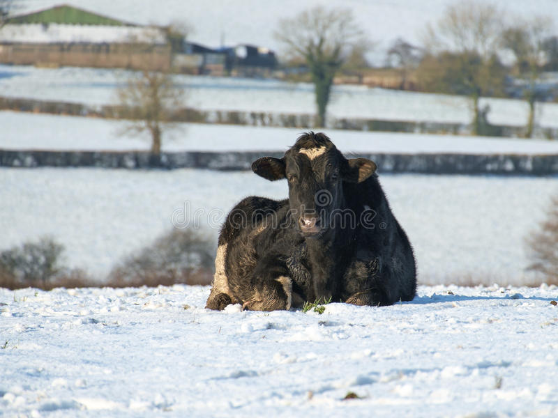 在雪的霍尔斯坦母牛 库存照片