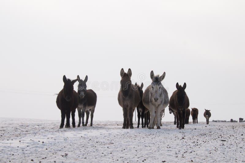在雪的驴 免版税库存照片