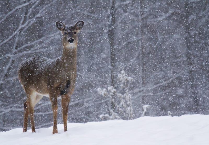 在雪的鹿 免版税图库摄影