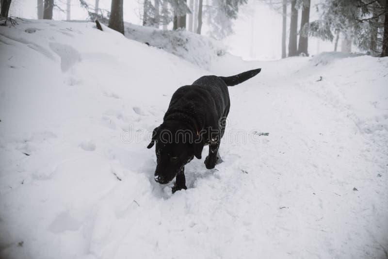 在雪的黑拉布拉多狗在森林里 免版税库存照片