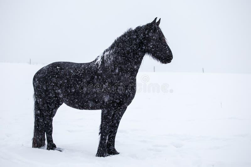 在雪的黑白花的马 免版税库存照片