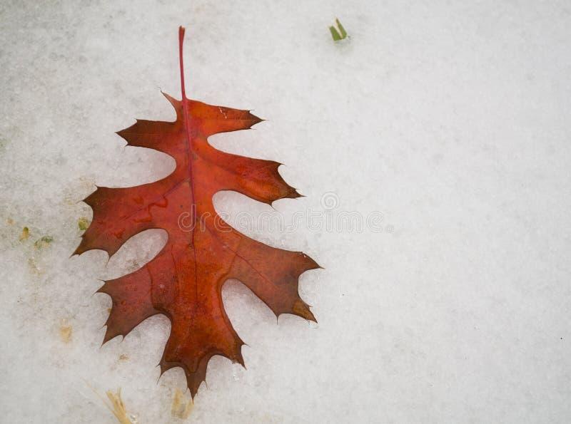 在雪的冻秋天叶子 免版税库存图片