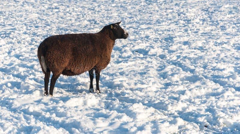 在雪的黑褐色绵羊 免版税库存照片