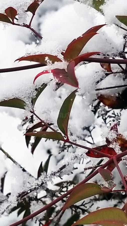 在雪的Nandina叶子 库存照片