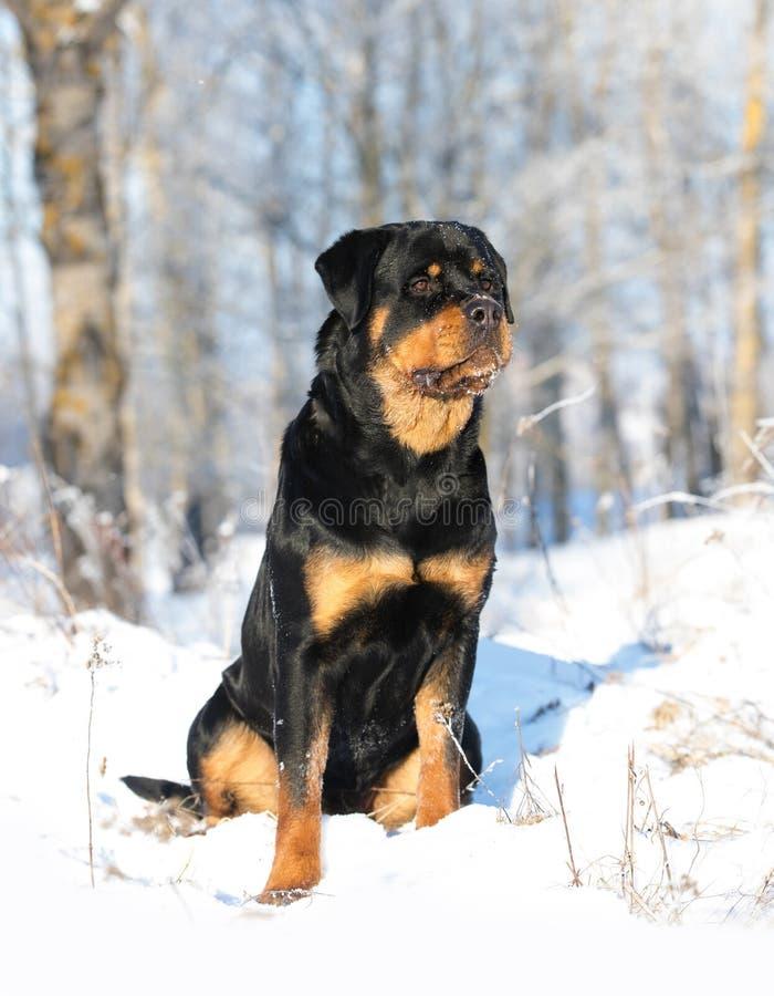 在雪的Rottweiler戏剧 免版税库存图片
