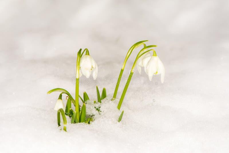 在雪的Snowdrop花 库存图片