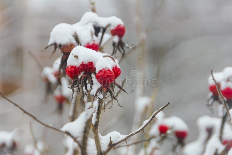 在雪盖帽下的野玫瑰果 莓果狂放在冬天, fo上升了 库存图片