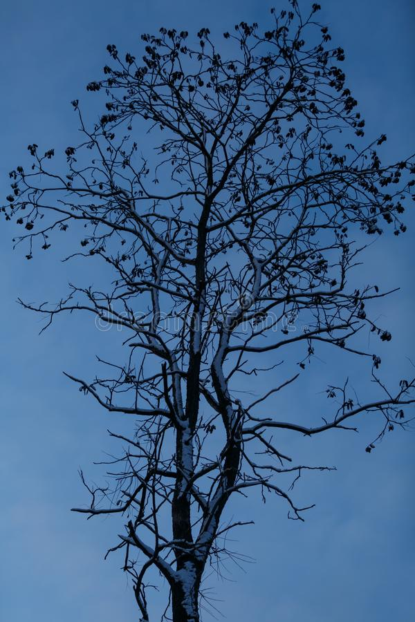 在雪盖的一棵高大的树木的剪影反对蓝色夜空 库存照片