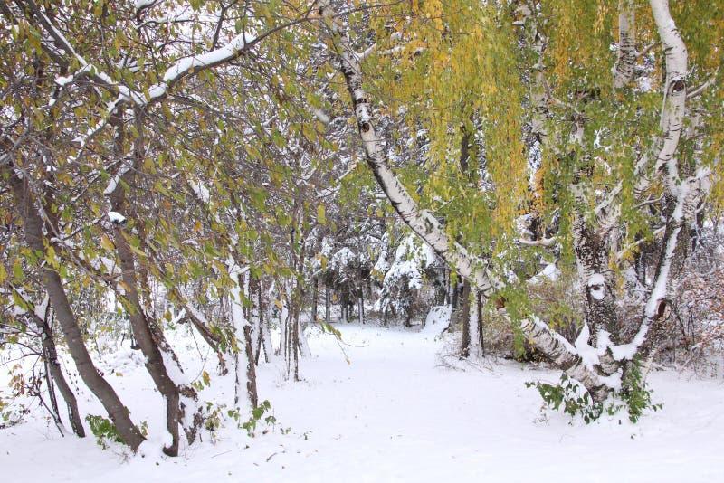 在雪盖的秋天树 库存图片