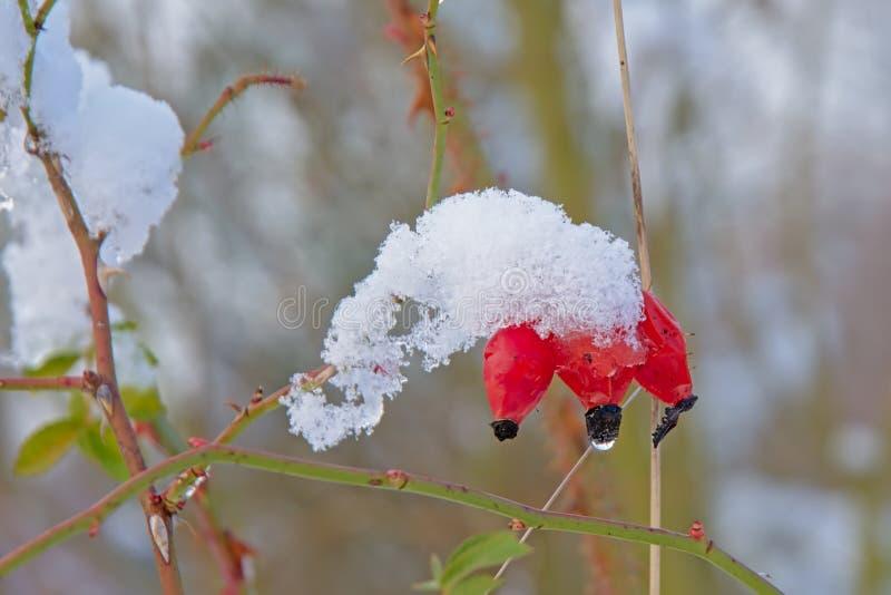 在雪盖的野玫瑰果莓果 库存图片