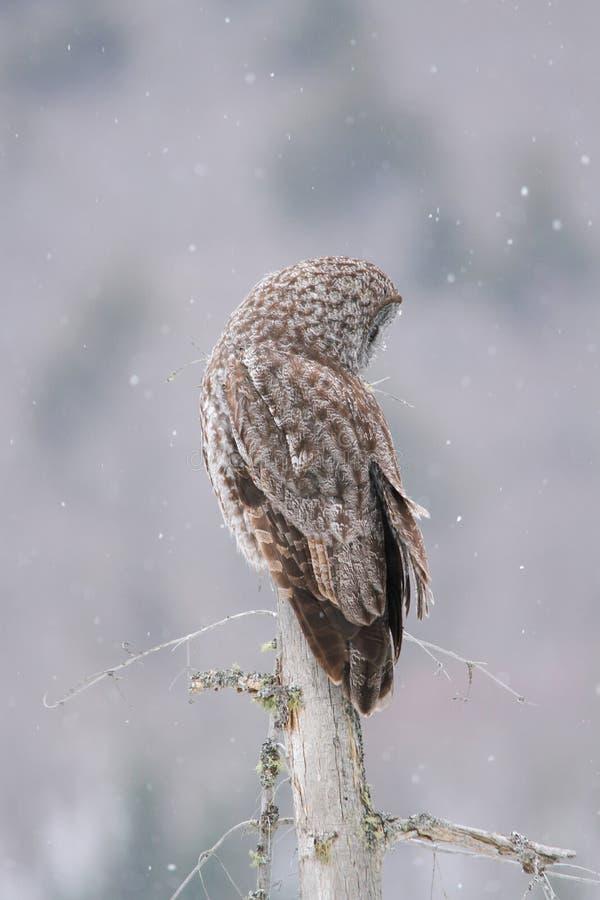 在雪秋天期间被栖息的巨大灰色猫头鹰 库存图片